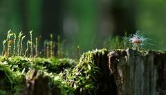 fungus on a fungi (marianna armata) Tags: canada macro green nature mushroom water forest moss quebec bokeh montreal drop fungi fungus micro droplet mold treestump marianna armata mariannaarmata panasoniclumixgh2