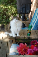 Tommy on the Back Porch (Philosopher Queen) Tags: sunshine cat chat kitty fluffy tommy gato washing dahlias backporch auntjill