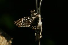 DSC06152 (dmarie13) Tags: haven birds backyard minolta sony north july ct teleconverter 2011 14x 600mm a900