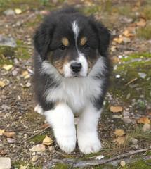 Aussiepentu (Tuulan) Tags: autumn dogs animals puppy aussie syksy koirat