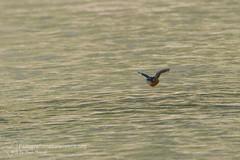 Martin pescatore (Alcedo attis) - Kingfisher - IMG_0684 800 px (fotografianaturalistica.org) Tags: kingfisher eisvogel martinpescatore martinpcheurdeurope alcedoattis martnpescadorcomn
