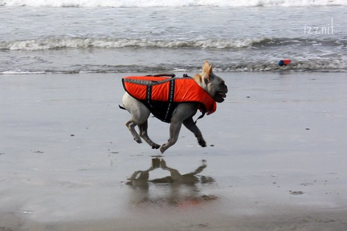 Frenchie in Lifejacket on Beach