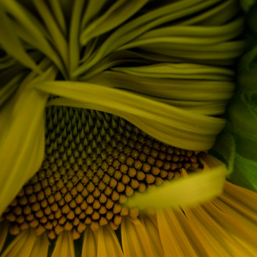 Sunflower Dancing in the Shadows