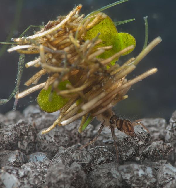 Caddisfly larva Limnephilus sp. pos rhombicus 3 edited