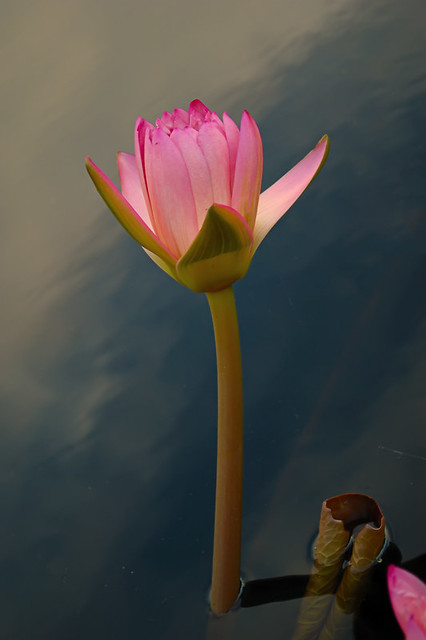 Missouri Botanical Garden, in Saint Louis, Missouri, USA - water lily 2