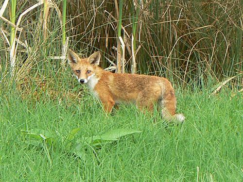le renard.jpg