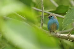 Blue waxbill (kevlineuh) Tags: animals botswana oiseaux d90 bluewaxbill 70200mmf28 uraeginthusangolensis bluebreastedcordonbleu cordonbleudangola