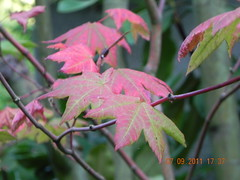 Fall foliage of Acer circinatum (Safia girl) Tags: maple native acer