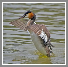 Great crested grebe (barnowlterry) Tags: wonders natures grbe huppe blinkagain