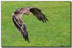 Steppe Eagle in Flight (Fraggle Red) Tags: zoo austria inflight sterreich eagle tierpark juvenile steiermark birdofprey styria steppeeagle aquilanipalensis elfenberg mautern canonef14xtc birdofpreyshow canonef70200mmf4lisusm greifvogelflugschau adobelightroom3 tierparkmautern abenteuerweltmautern