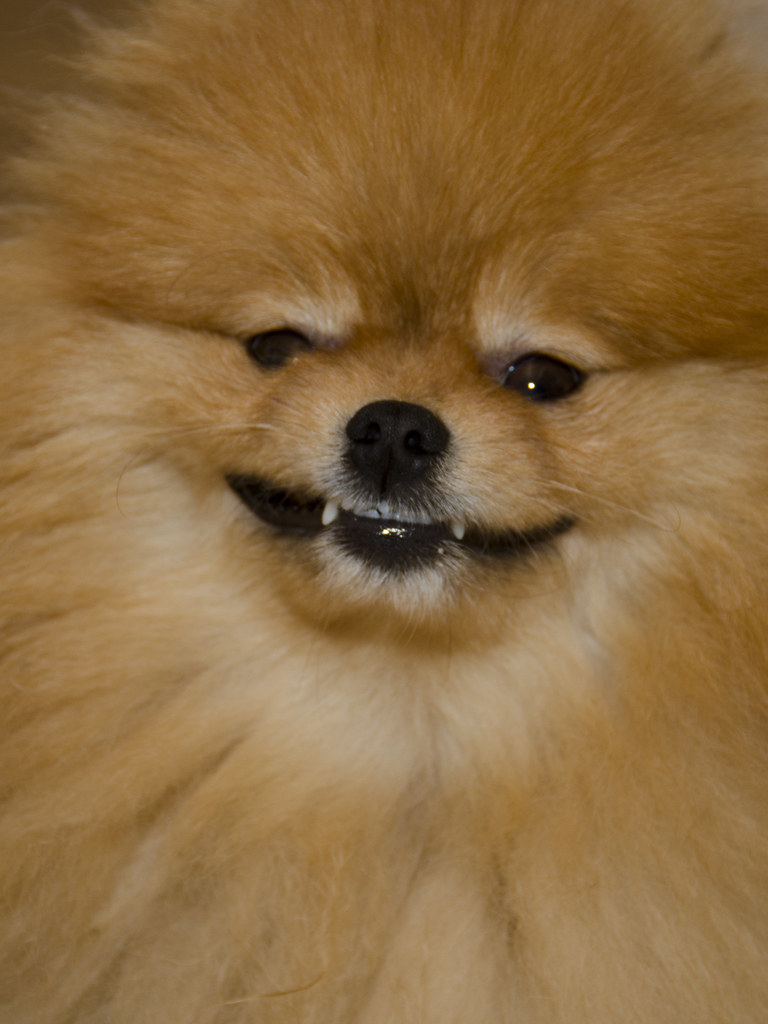 pomeranian teeth the world s best photos of pomeranian and teeth flickr 2629