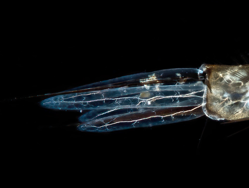 Gills of mosquito