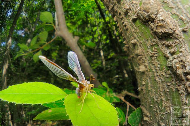 Zoraida pterophoroides