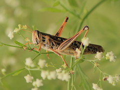 Grasshopper and Baby's Breath (flutterbye216) Tags: wild nature canon bug florida contest elite 100400mm babysbreath t1i blinkagain challengeclubchampion