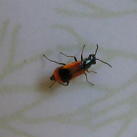 orange-beetle