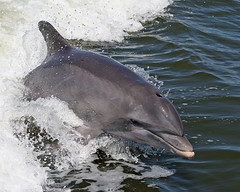 Day 254: Bottlenose Dolphin (MickiP65) Tags: travel vacation usa tourism gulfofmexico water animal animals canon mammal us wake gulf florida getaway dolphin web wave september dolphins northamerica fl fla mammals cedarkey animalia levy mammalia allrightsreserved gulfcoast copyrighted bottlenosedolphin 2011 chordata canoneos30d bottlenoseddolphin birdtour michellepearson websized naturecoast tidewatertours mickip mickip65 birdtrip 091111 captaindougmaples 09112011 20110911 img495 sept112011