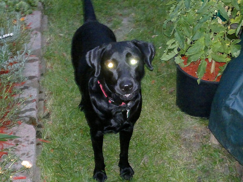 Midnight the lab with what looks like flares for eyes! whoa!