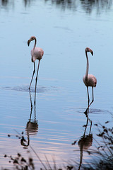 Camargue 1 09.11 155 (MUMU.09) Tags: bird rose photo foto flamingo aves ave bild fugl oiseau flaming flamenco  vogel imagem  uccello  ku chim ptak fgel   flamant     fenicottero  madr    an      plamek  hng      tkklistar  hac