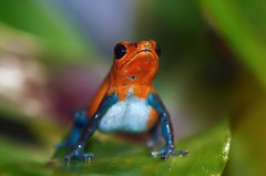 Hey, what's up (Supervliegzus) Tags: nikon ngc npc maco oliemeulen strawberrypoisondartfrog flickraward flickrawardgallery blinkagain