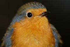 Robin Portrait (Chris McLoughlin) Tags: wild macro bird nature robin wildlife sony fairburnings sal100m28 sonya300 chrismcloughlin