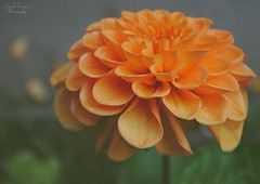Dainty Dahlia (Sarah Cowan's mix of photo love) Tags: dahlia vintage pastel ourdailychallenge