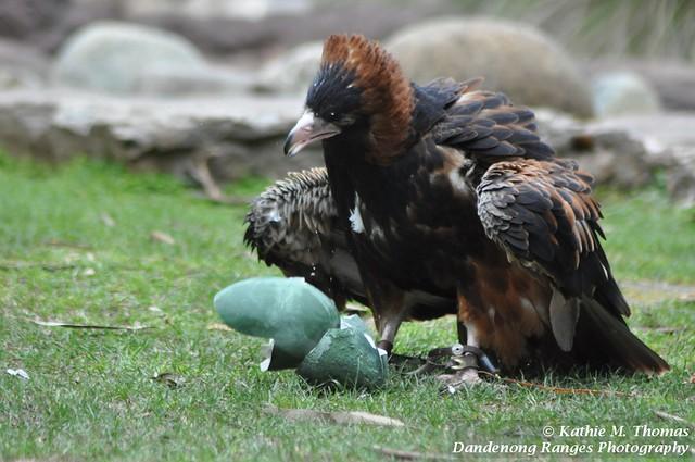 Black Breasted Buzzard cracks an emu egg