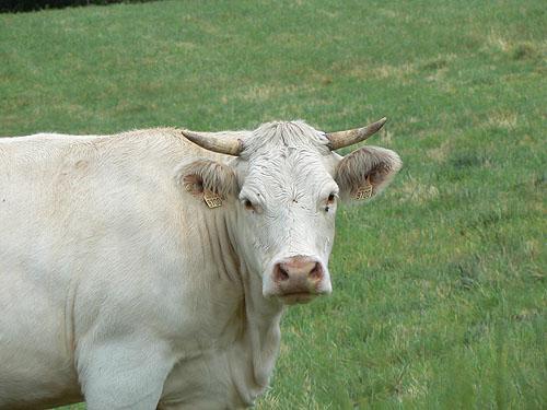tête de vache blanche.jpg