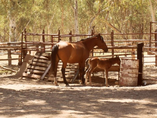 Wild Brumby Australia