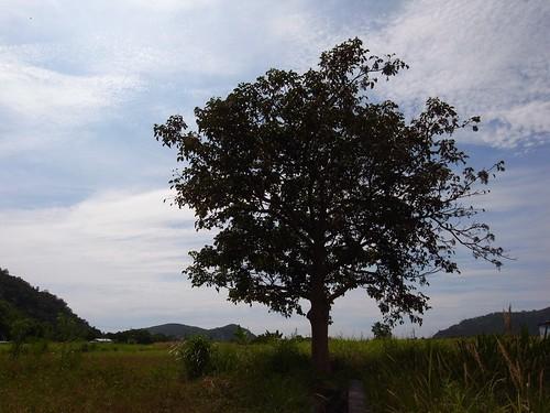 冠宇小美自然農 雁鴨喜歡光臨的水田區旁的茄冬樹