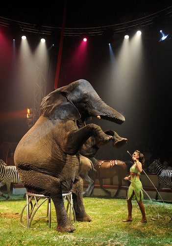 [Free Image] Animals, Mammalia, Event / Leisure, Elephant, Circus, 201108171100