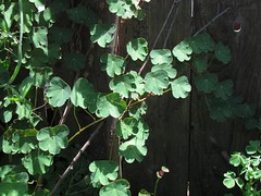 Tropaeolum tuberosum (xerantheum) Tags: plants garden berkeley tropaeolum tropaeolaceae tuberosum mashua