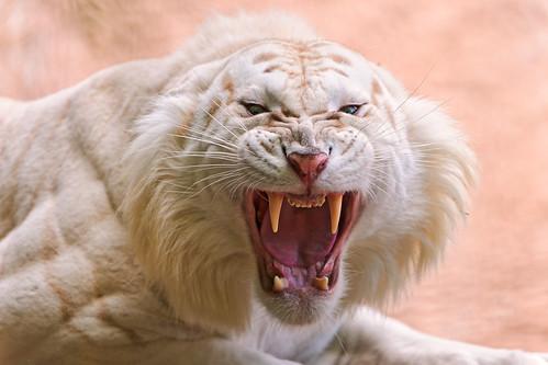 フリー写真素材|動物|哺乳類|虎・トラ|ホワイトタイガー|口を開ける|怒る|