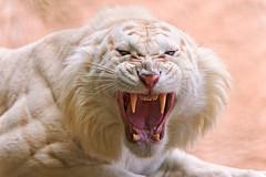 [フリー画像] 動物, 哺乳類, 虎・トラ, ホワイトタイガー, 口を開ける, 怒る, 201108181100