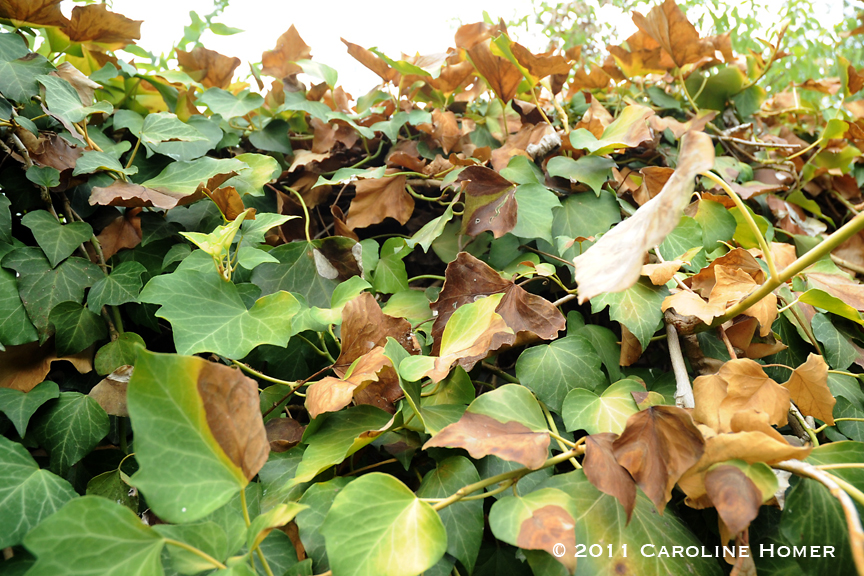 Drought-stricken English ivy