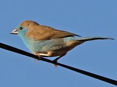 Blue Waxbill, Cape Maclear (Malawi), 18-May-11 (Dave Appleton) Tags: blue bird birds finch malawi cordonbleu waxbill passerine bluewaxbill capemaclear uraeginthusangolensis bluebreastedcordonbleu angolensis uraeginthus southerncordonbleu