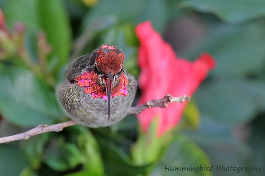 Anna's Hummingbird 081711