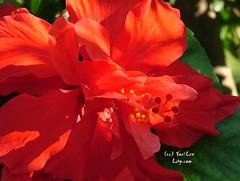 Rosa Sinensis 4 (Lihycom) Tags: 朱槿 rosasinensis ブッソウゲ మందార hibiscusrosedechine lihycom yaellew lewyael lihyarts