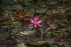 Flor en el estanque 2