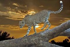 Cheetah (Acinonyx jubatus) (Arno Meintjes Wildlife) Tags: africa wallpaper southafrica wildlife bigcat cheetah predator krugerpark acinonyxjubatus artset arnomeintjes