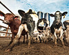 Cow Personalities (samthe8th) Tags: wisconsin cool cool2 cool5 cool3 cool6 cool4 matchpointwinner cool9 cool7 cool8 iceboxcool unanicool