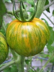 Green and gold tomato