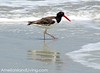 American Oystercatcher Seen on Amelia Island, Florida