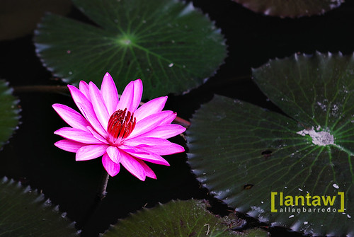 Lake Sebu Lotus Flower