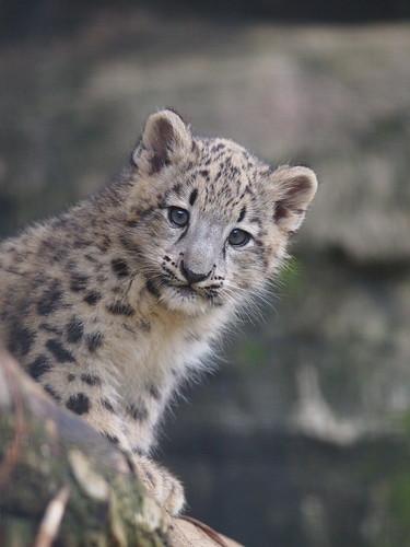 多摩動物公園 ユキヒョウ