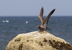 Brown Booby, Corporation Beach, Dennis - August 21, 2011 248 (CapeLawyer.com) Tags: brown beach 21 massachusetts cape cod booby sula 2011 leucogaster brownboobycorporationbeachdennisaugust212011
