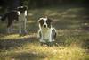 a dog in the dawn (Manlio Castagna) Tags: light dog lago collie border meadow bordercollie manlio petrademone