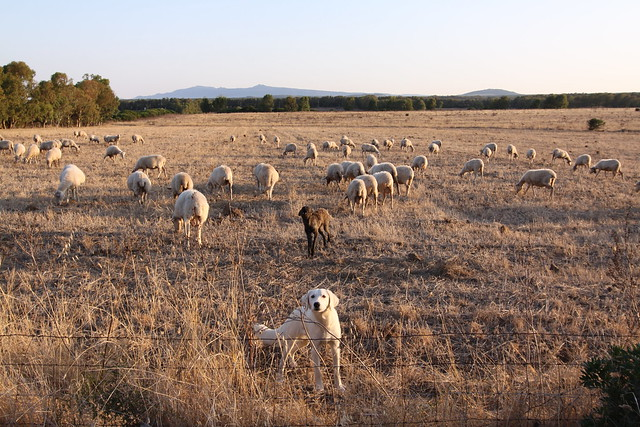 The sheep & the loud sheepdog