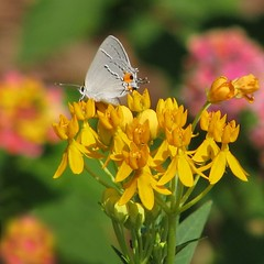 Gray hairstreak in butterfly weed (Vicki's Nature) Tags: yellow yard canon georgia bokeh ngc npc return lantana hairstreak s5 butterflyweed grayhairstreak 8078 vickisnature bwcgghi getmedal faves19 readyfaves bwcgmemoriesofsummer