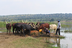Ankole Cattle (DAIGlobal) Tags: usaid rwanda dai publichealth respond infectiousdiseases