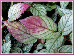 Hemigraphis alternata (Red Flame Ivy, Red Ivy, Cemetary Plant, Metal-leaf) at Sg Klah Hot Springs, Sungkai